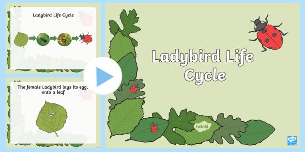 Ladybird Life Cycle PowerPoint - KS1 Life Processes