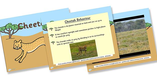 Safari Cheetah Information PowerPoint - safari, on safari, safari powerpoint, cheetah, cheetahs, cheetah powerpoint, cheetah facts powerpoint