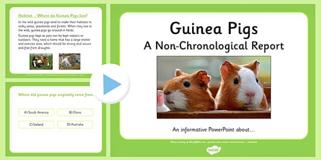 Non-Chronological Report Guinea Pigs PowerPoint - non-chronological