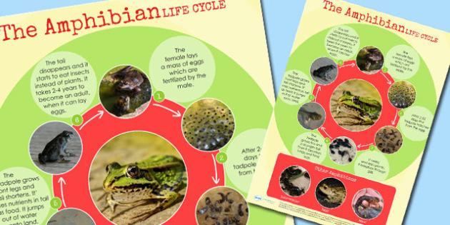 Amphibian Life Cycle Display Poster - life cycles, animal, poster
