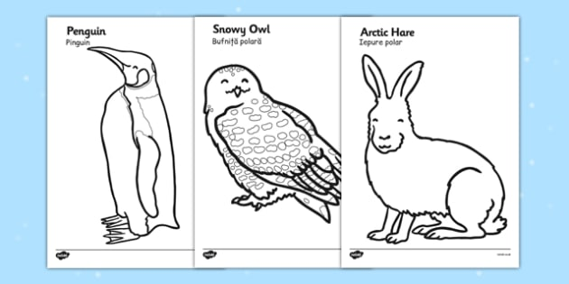 Arctic Animals Colouring Images Romanian Translation - romanian, arctic, animals, colouring, colour, images