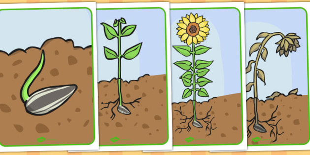 Life Cycle of a Sunflower Display Posters - Australia, Life, Sun