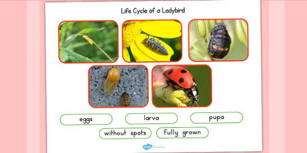 Life Cycle of a Ladybird Photo Cut Out Pack - lifecycle, photos