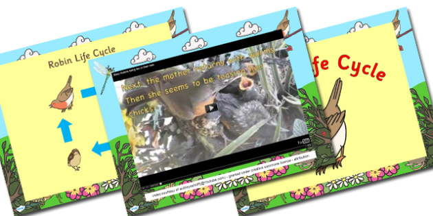 Australia Robin Life Cycle PowerPoint - australia, robin, cycle