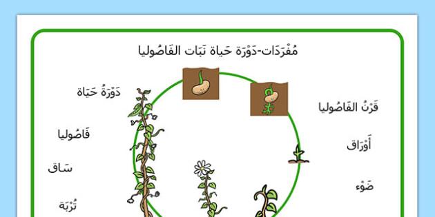 بساط فردات نمو نبات الفاصوليا - الفاصوليا، إنبات، علوم، تشجير