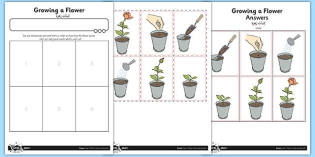 Activity Sheet Growing a Flower Arabic Translation - arabic, activity sheet, growing, flower, worksheet