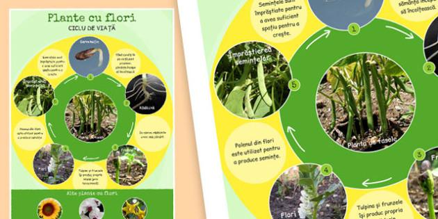 Ciclul de viață al plantelor - Planșă - ciclul de viață la plante, planșă, imagini, științe, plante, materiale, materiale didactice, română, romana, material, material didactic