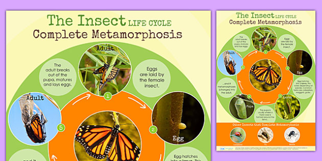 Butterfly Insect Complete Metamorphosis Life Cycle Display Poster (Minibeasts)