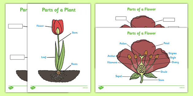 Parts of a Plant (Foundation Stage) - Foundation stage, Plant, Growth, Topic, Flower, knowledge and understanding of the world, investigation, living things, labelling, labelling plant