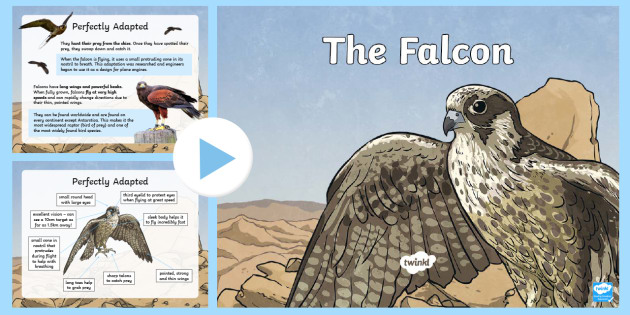 The Falcon   History and Adaptations PowerPoint - Science, Living World, PowerPoint, Birds, Animals, UAE, National, Falcon, Adaptation.