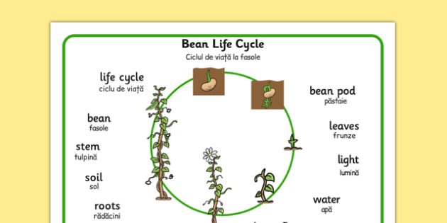 Bean Growth Word Mat Romanian Translation - romanian, Bean, plants, word mat, plant lifecycle, Topic, Foundation stage, knowledge and understanding of the world, living things, plant growth