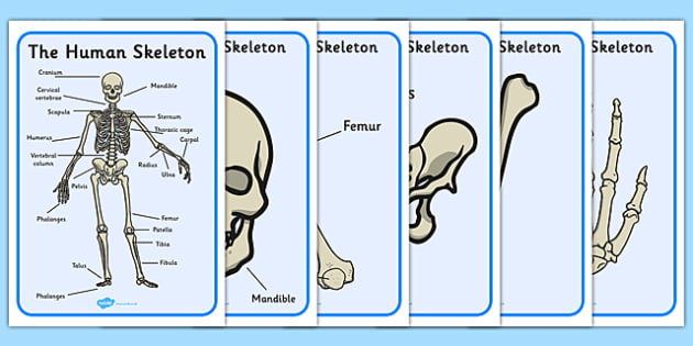 human skeleton display posters scientific names - display, Skeleton