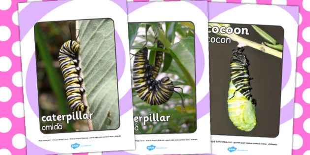 Life Cycle Of A Butterfly Display Photos Romanian Translation