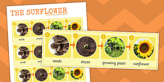 Sunflower Life Cycle Photo Strip - sunflower, life cycle, photo