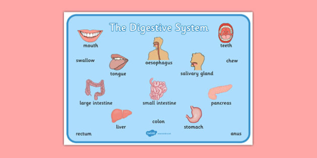 The Digestive System Word Mat - digestive, system, word mat