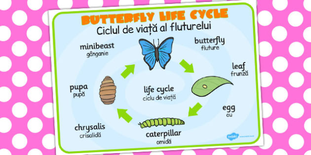 Butterfly Life Cycle Word Mat Romanian Translation - butterflies