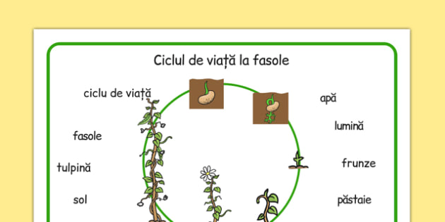 Dezvoltarea plantei de fasole - Planșă ilustrativă