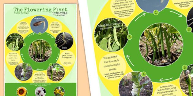Flowering Plant Life Cycle Display Poster Polish Translation - polish, lifecycle, plants