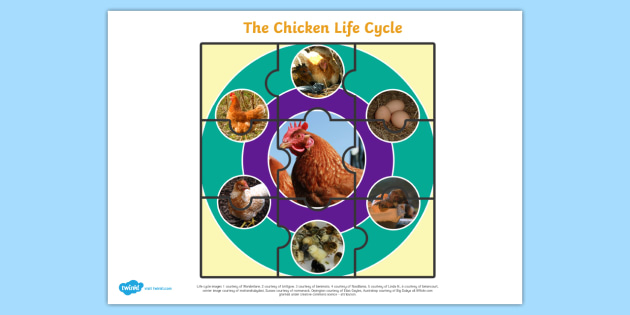 Life Cycle of a Chicken Jigsaw - life cycles, cutouts, games
