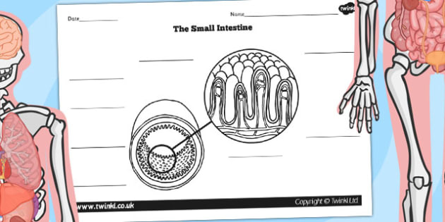 Small Intestine Diagram Labelling Worksheet - bodies, ourselves