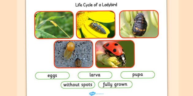 Life Cycle of a Ladybird Photo Cut Out Pack - life cycles, cutout