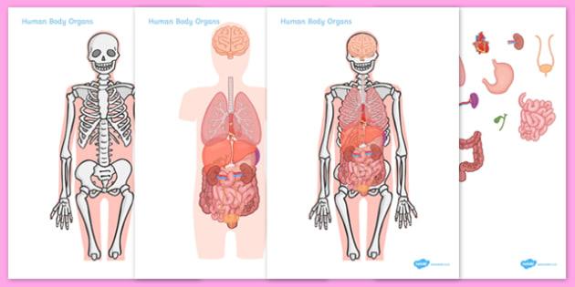 Large Human Body Organs For Skeleton - large human body organs for skeleton, large, human, body, organs, organ, skeleton, human body organs, brain, heart, lungs, liver, stomach, bladder, biology, biological