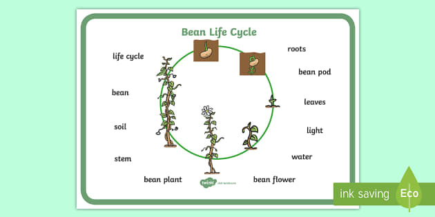 Bean Growth Word Mat - Bean, plants, word mat, plant lifecycle