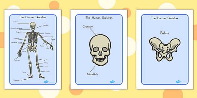 human skeleton display posters scientific names - australia, Skeleton