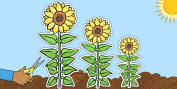 Sunflowers of Varied Sizes Cut Outs