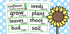 Sunflower Life Cycle Word Cards Romanian Translation