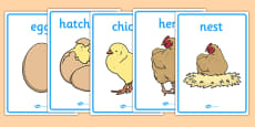 Life Cycle of a Hen Display Posters