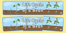 Life Cycle of a Bean Display Banner