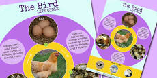 Bird Life Cycle Display Poster