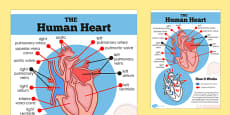 The Human Heart Diagram Display Poster