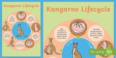 Australia - Kangaroo Life Cycle Poster