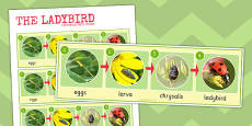 Ladybird Life Cycle Photo Strip