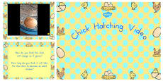 Australia - Chick Hatching Video PowerPoint