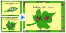 Ladybug Life Cycle PowerPoint