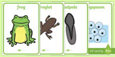 Life Cycle of a Frog Display Posters
