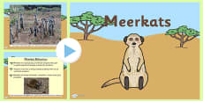 Safari Meerkat Information PowerPoint