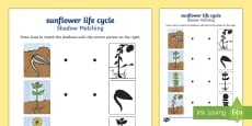 Sunflower Life Cycle Matching  Activity Sheet