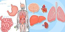 Australia - Large Human Body Organs for Skeleton