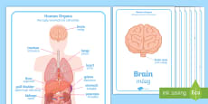 * NEW * Human Body Organs Display Posters English/Polish