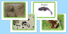 Life Cycle of a Frog Display Photos
