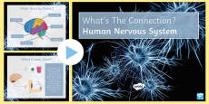 Human Nervous System What's the Connection? PowerPoint