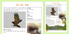 Kea Bird Fact Sheet - New Zealand Native Birds