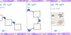Australia - Spider Life Cycle Worksheets