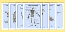 Human Skeleton Display Posters (Common Names)