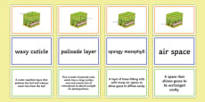 Leaf Structure and Function 'Find a Friend' Card Sort