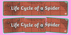 Spider Life Cycle Display Banner